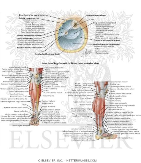 compartments of leg. Compartments of the Leg and