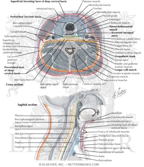 Fascial Layers Of Neck