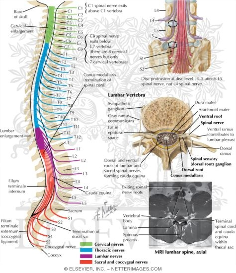 Nerves of the Spine