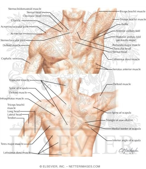 Topographic Anatomy of the Shoulder