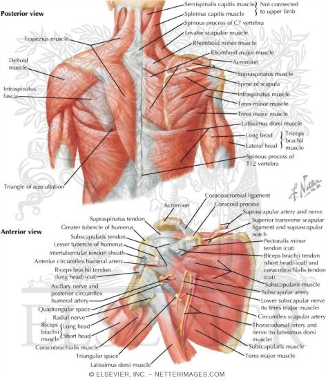 muscles: back and scapula region, Human Body