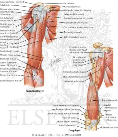 Arm Muscles With Portions Of Arteries And Nerves Muscles Of Arm