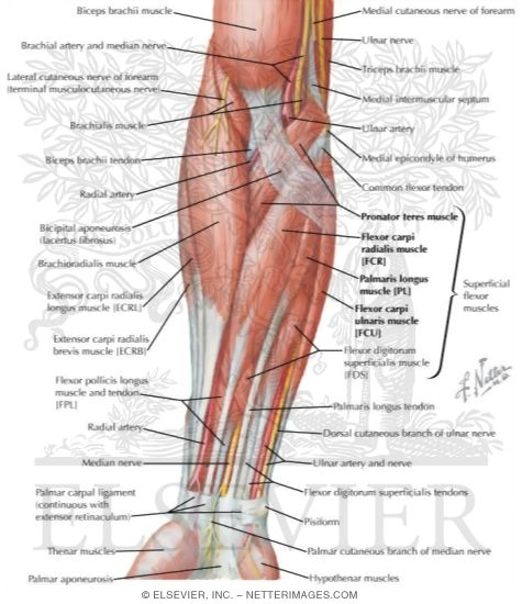 Muscles Of Forearm Superficial Layer Anterior View