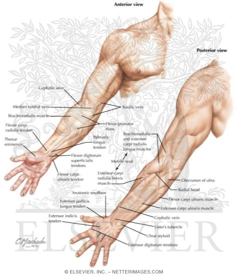 Forearm surface anatomy