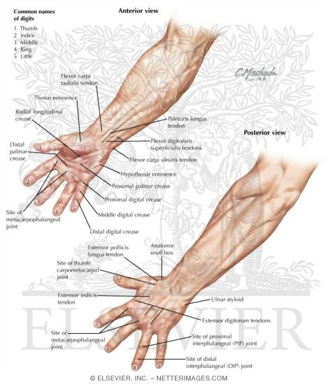 Topographic Anatomy Of The Hand