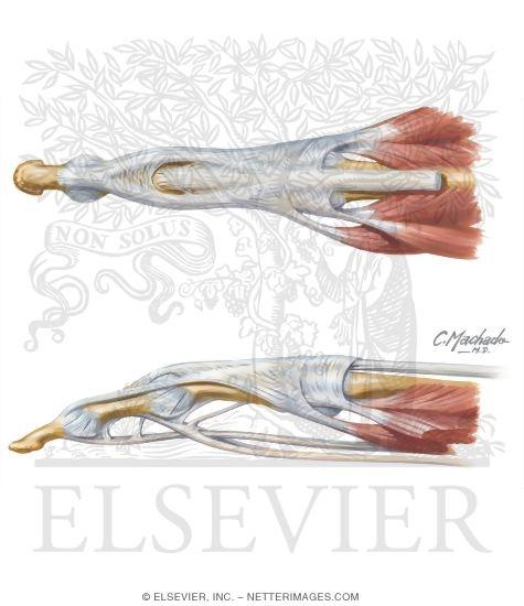 Hand Anatomy Tendons Extensor