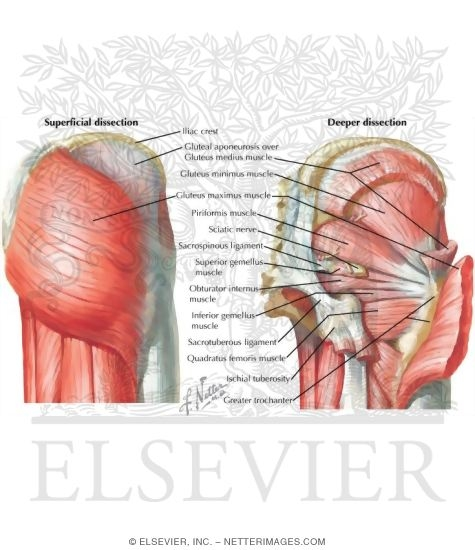 Illustration of Gluteal Muscles from the Netter Collection