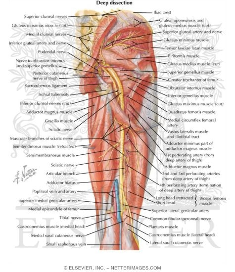 Netters concise orthopaedic anatomy arteries and nerves of thigh deep dissection posterior view arteries and nerves of ccuart Image collections