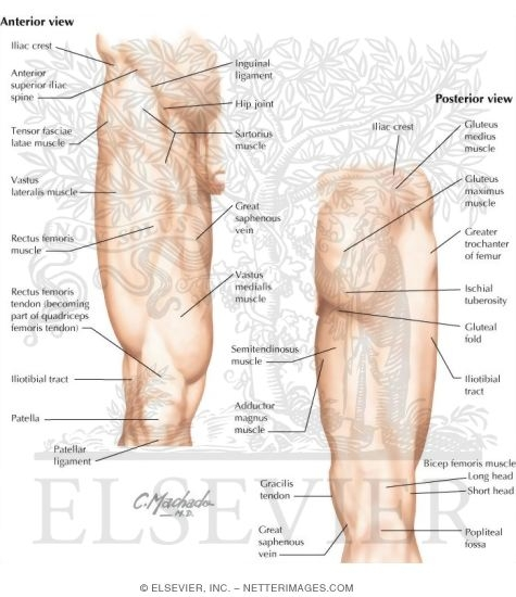Topographic Anatomy Of The Thigh And Hip