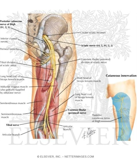 Nerves Of The Thigh And Hip