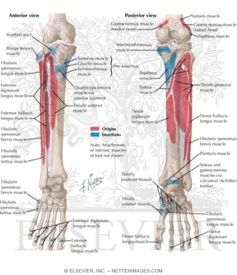 Attachments of muscles of leg attachments of muscles of leg bony attachments of muscles of leg attachments of muscles of leg ccuart Gallery