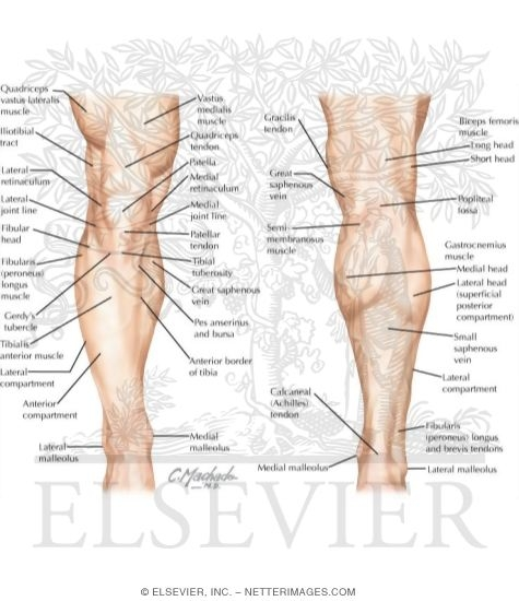 Topographic Anatomy Of The Leg And Knee