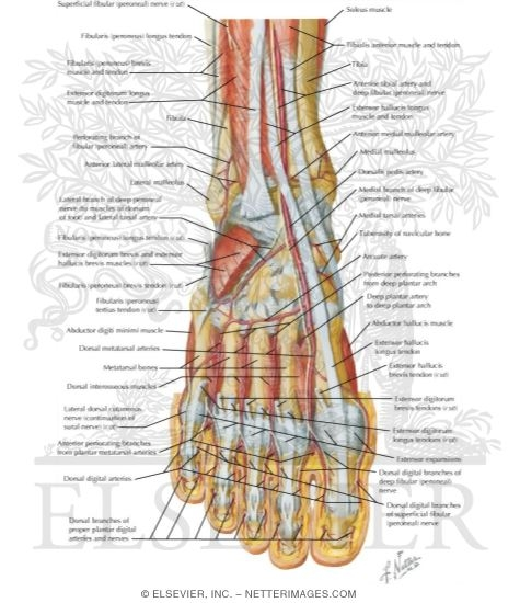 muscles, arteries, and nerves of front of ankle and dorsum of foot, Human Body