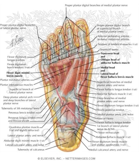 Muscles Of Sole Of Foot Third Layer