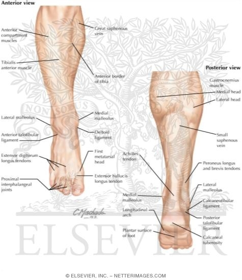anatomy of the foot and ankle, Cephalic Vein
