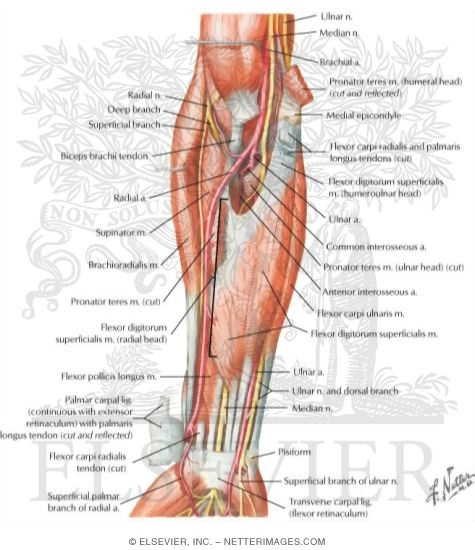 Muscles of Forearm (Intermediate Layer): Anterior View