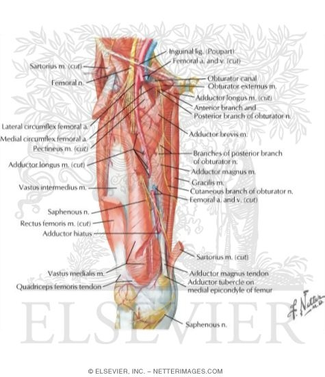 Arteries And Nerves Of Thigh Deep Dissection Anterior View