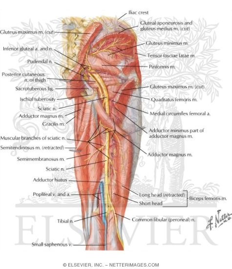 Arteries And Nerves Of Thigh Deep Dissection Posterior View
