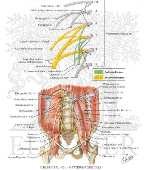 lumbar plexus nerves lumbar plexus