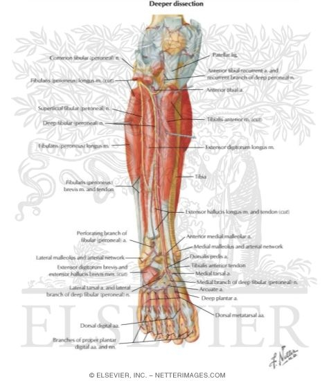 Muscles arteries and nerves of leg deep dissection anterior view muscles arteries and nerves of leg deep dissection anterior view muscles of leg deep dissection ccuart Image collections