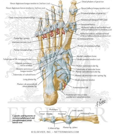 Insertions And Ligaments Of Sole Of Foot Ligaments And Tendons Of