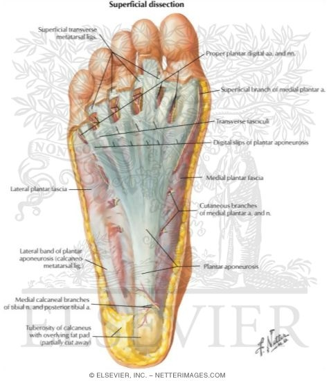 Sole of Foot: Superficial Dissection