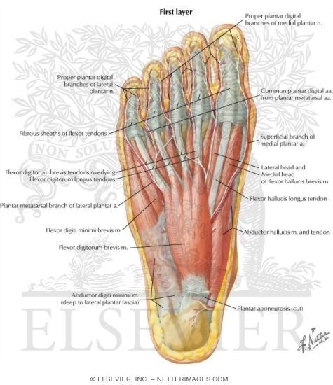Muscles Of Sole Of Foot First Layer