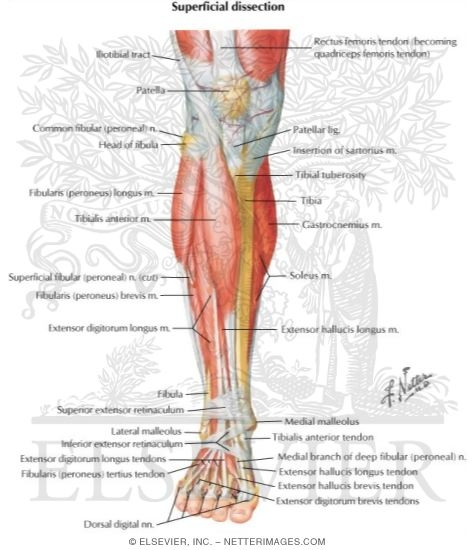 Muscles of Leg (Superificial Dissection): Anterior View