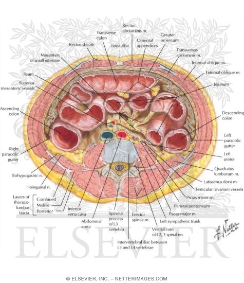 Schematic Cross Section Of Abdomen At L2 L3 And L4