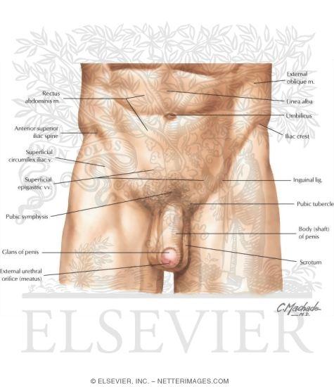 Pelvis And Perineum Surface Anatomy