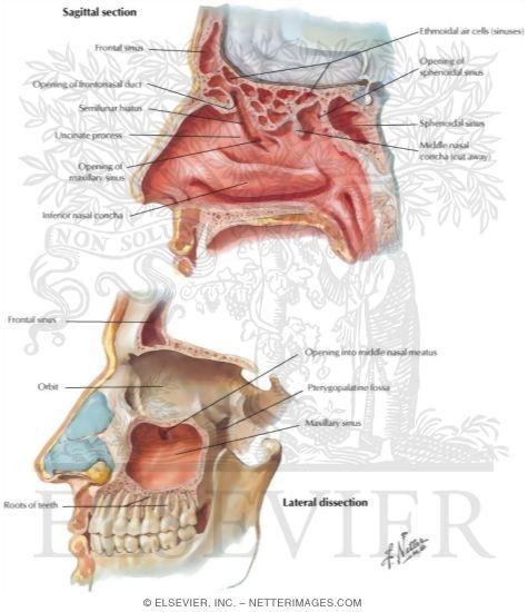 Paranasal Sinus Diagram Schematics Wiring Diagrams