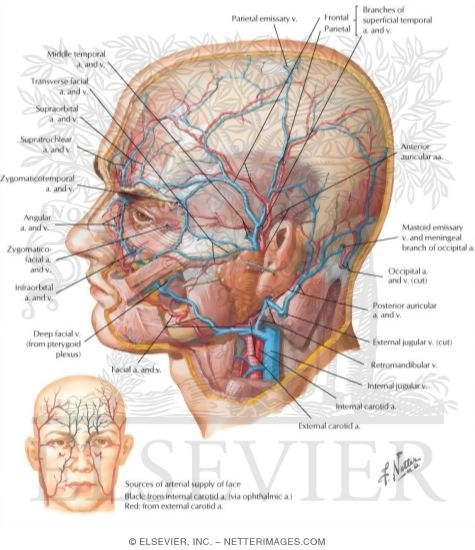 superficial arteries and veins of face and scalp Lymph Node Diagram