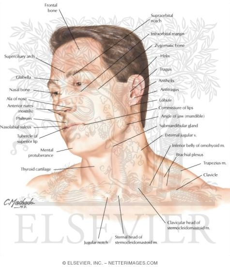 Head And Neck Surface Anatomy