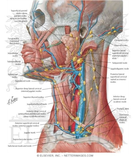 Lymph Vessels And Nodes Of Head And Neck Lymphatic Drainage Of Mouth