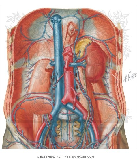 inferior vena cava, Human body