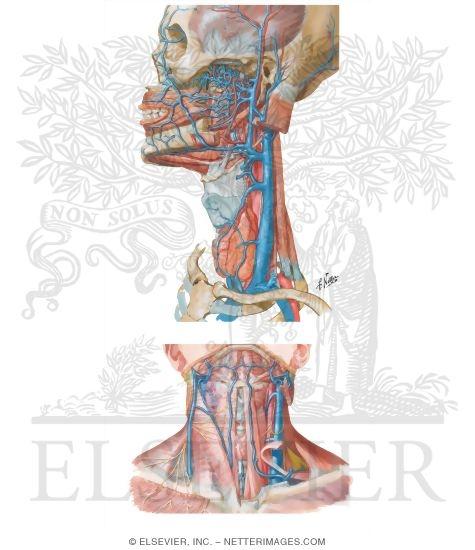 External and Internal Jugular Veins