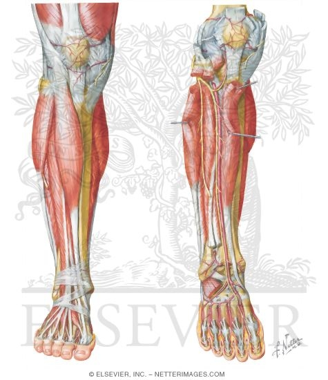 Anterior compartment leg muscles vessels and nerves ccuart Image collections