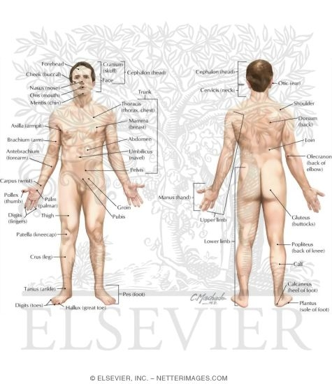 Picture Anatomical Position Human Body http://www.netterimages.com/product/9781437702729/1-2.htm