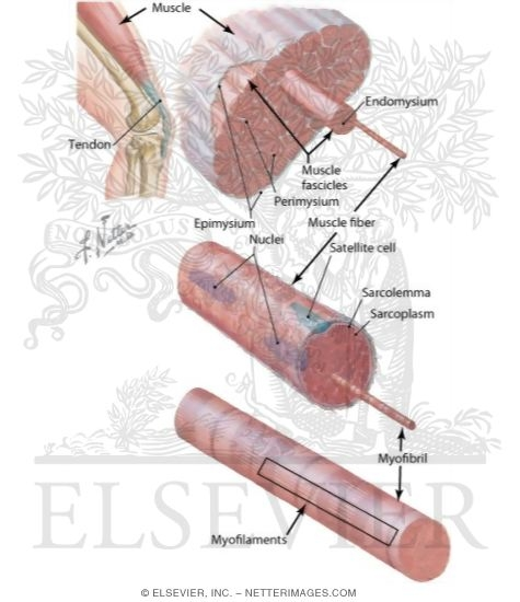 muscular system: structure of skeletal muscle, Muscles