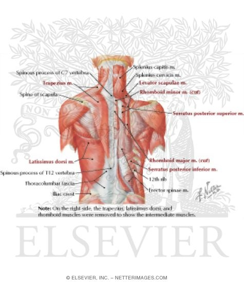 Of Back Superficial Layers Superficial Muscles Posterior Neck And Back