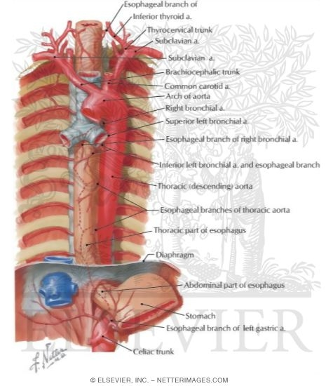 Anatomy of thoracic aorta