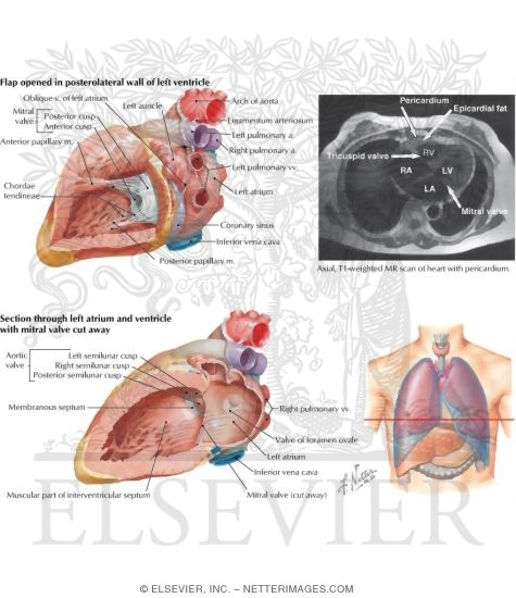 atrium and ventricle opened, Human Body