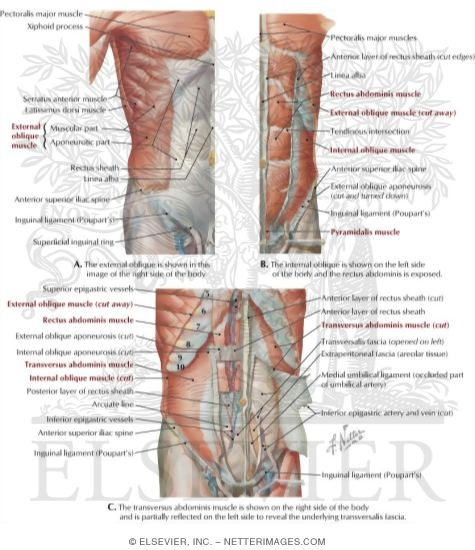 Muscles of the Anterolateral Abdominal Wall