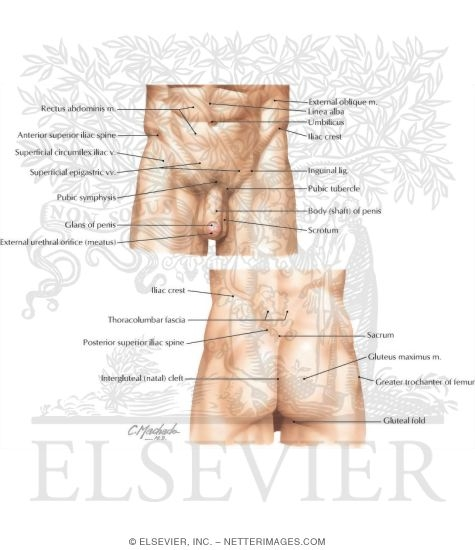 Surface Anatomy Of The Pelvis And Perineum