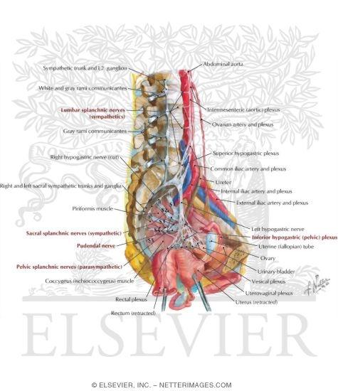 Pelvic Cavity Anatomy Similar To Page 2 Japaneseclass