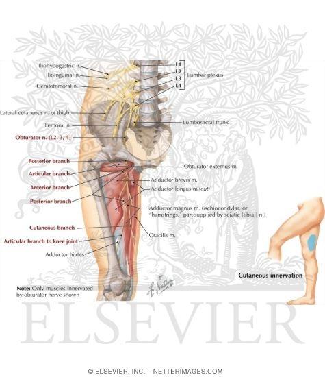Obturator nerve ccuart Choice Image