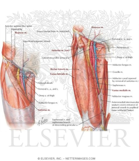 Arteries and Nerves of Thigh: Anterior Views Superficial Dissections