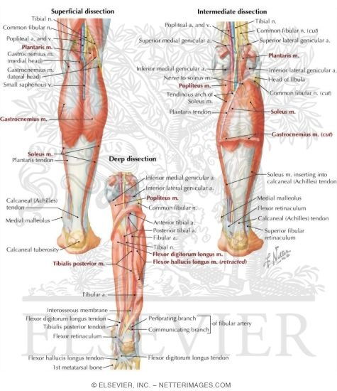 Compartment Leg Muscles