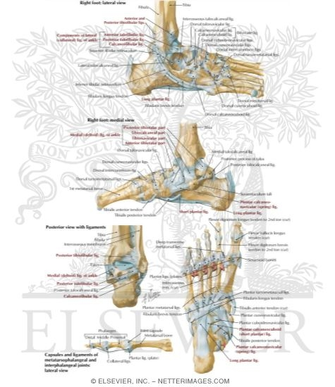 And Ligaments Of The Ankle And Foot