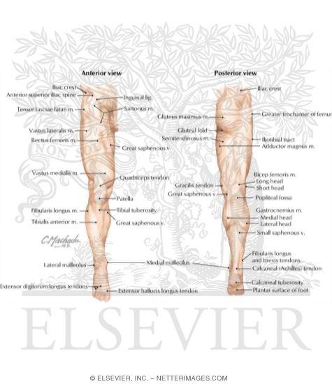 Lower Limb: Surface Anatomy